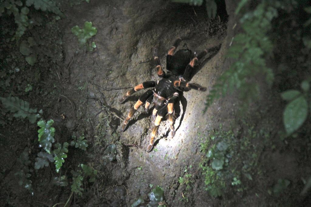 Tarantula - Monteverde Cloud Forest Reserve, Costa Rica - Photo