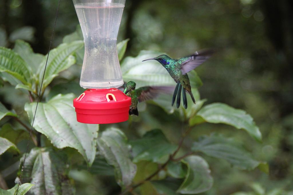 Hummingbird In Flight - Monteverde, Costa Rica - Photo