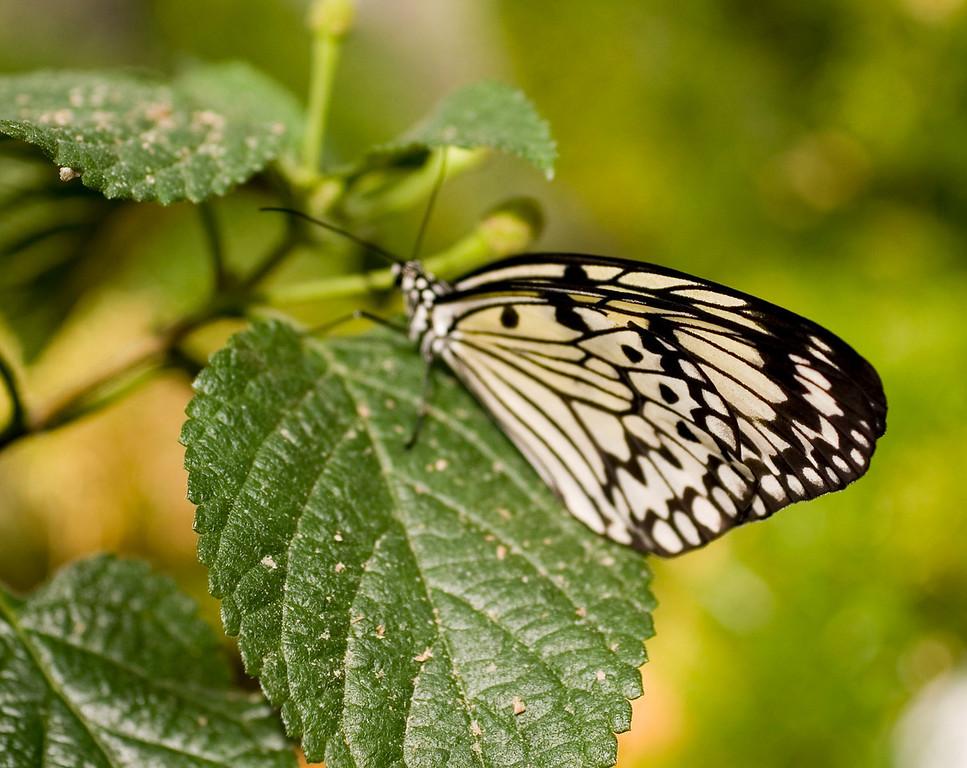 MTL_Butterfly085.jpg