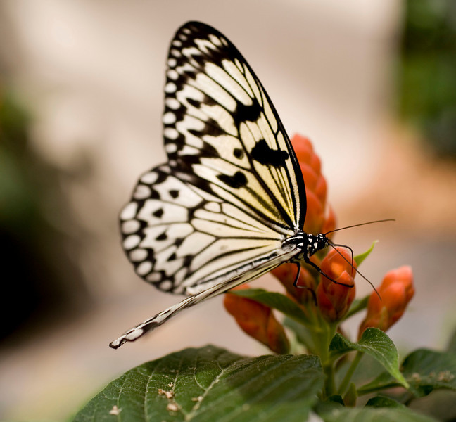 MTL_Butterfly089.jpg