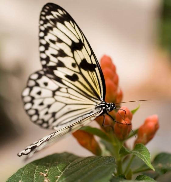MTL_Butterfly088.jpg