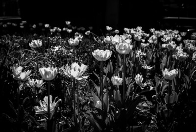 Montreal, Black and white, tulips, Square Phillips