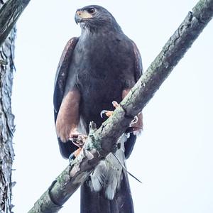 Animals, Birds, Harris Hawk, Hawks in the Forest, Hawksintheforest.com, Moors Park, Moors Valley Country Park - 08/03/2018