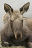 moose2338