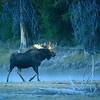 Moose :