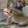 A monkey grooming another monkey at the Khao Hin Lek Fai viewpoint in Hua Hin, Thailand in August 2017