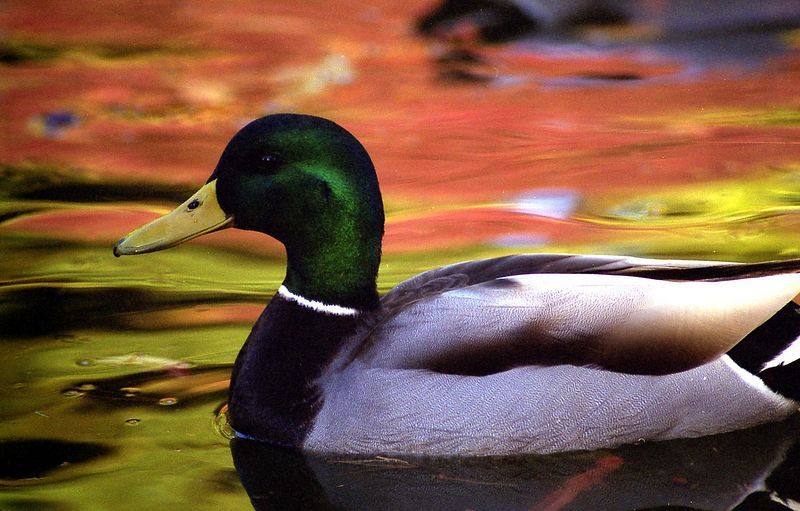 Photo of Mallard taken at Kaibara Park in Kent.
