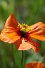 Stylomecon heterophylla, wind poppy.