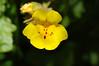 Mimulus guttatus; Common Yellow Monkeyflower