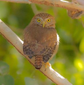 Ferruginous Pygmy-Owl  San Blas Nayarit Mexico  2013 03 11 (4 of 5).CR2