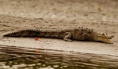 Crocodile  mangroves of San blas  Nayarit Mexico  2013 03 11 (1 of 1).CR2
