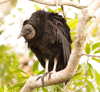 Black Vulture  near San Blas 2013 03 13 (1 of 2).CR2