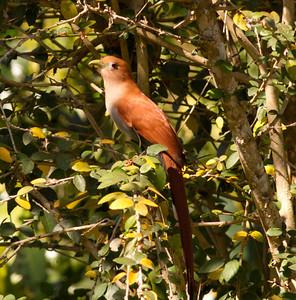 Squirrel Cuchoo  Cabo Corrientes, Jalisco Mexico 2013 03 19 (1 of 1).CR2