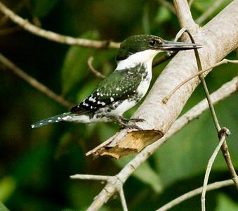 Green Kingfisher  mangroves of San blas  Nayarit Mexico  2013 03 11 (2 of 2).CR2