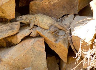 Iguana  San Blas Nayarit Mexico  2013 03 11 (2 of 2).CR2