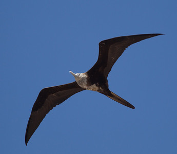 Magnificent Frigatebird  San Blas Nayarit Mexico  2013 03 11 (2 of 2).CR2