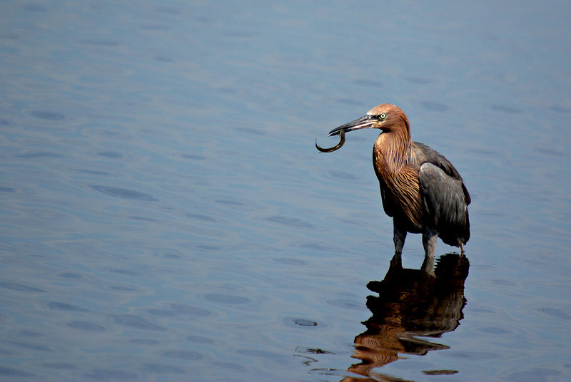 Reddish Egret with Needlefish