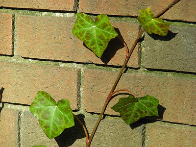 Brick and vine