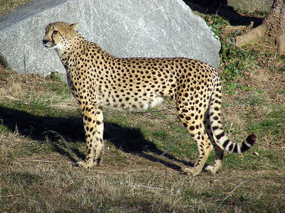 They do Cheetah research at the Nat'l Zoo