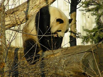Panda teeth