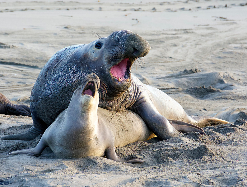 elephant seal mating