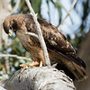 red-tailed hawk eating an alligator lizard