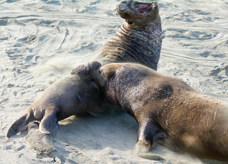 two male bull elephant seals fighting