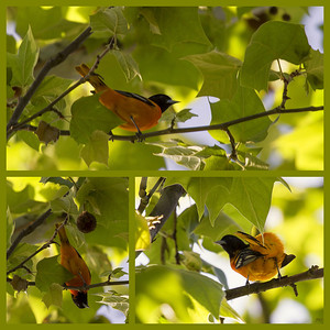 Baltimore Oriole Day 135 of 365 May 15, 2013