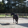 My black Quarter Horse - D'Artagnan (D'Art for short) - May, 2011