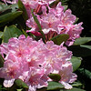 Wild rhodies - May, 2011
