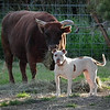 "Dottie the rescued pit bull & Rosie the ""mini"" cow."