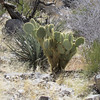 A very healthy cactus near a yucca.