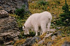 MOUNTAIN GOATS 02