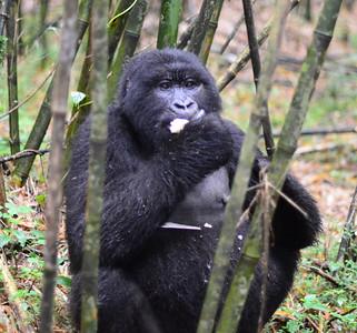 Mountain Gorillas/Rawanda