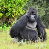 Guhonda, the largest silverback in the world (almost 500 pounds) and the oldest, 39 years old.