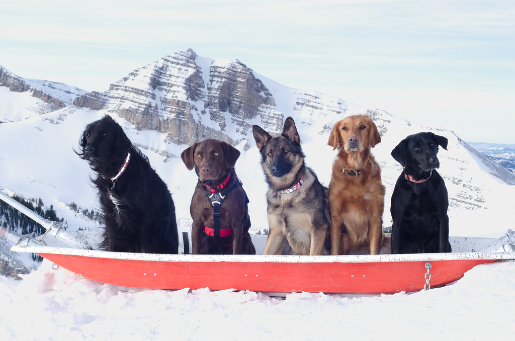 JHSP Avalanche rescue dogs (L to R: Grover, Stella, Josie, Cornice, Cricket) posing at top of Rendevous Peak, WY, with Cody Peak in background.  Jan. 4, 2012.