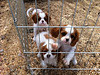 "Some Sheeba Cavs.  <a href=""http://www.sheebacav.com/"">http://www.sheebacav.com/</a>"