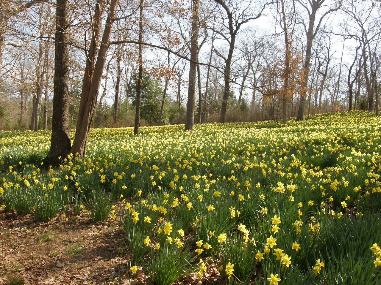 Ms. Lee ordered a boxcar full of Daffodil bulbs from Holland and had 40 workers plant them around the farm.  Neat.