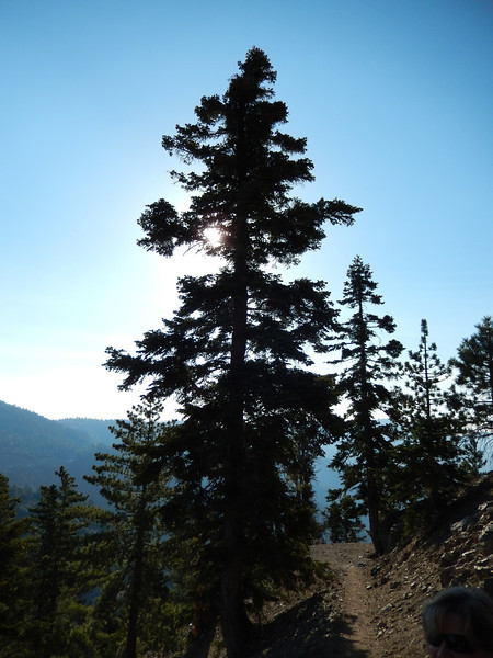 White fir growing along side the trail between 6000 and 9000 foot.
