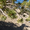 Limber Pine needles, in bundles of five.