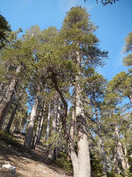 A little higher up Lodgepole Pines start appearing.