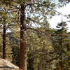 Jeffrey Pines very common at 7000 in this area of the San Gabriel's.