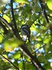Black-capped Chickadee at Kashwitna Lake