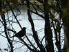 Chickadee in Silhouette