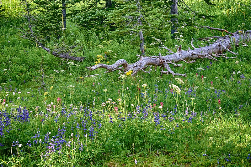 Tipsoo Lake wildflowers 4