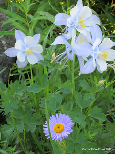 Columbines and one