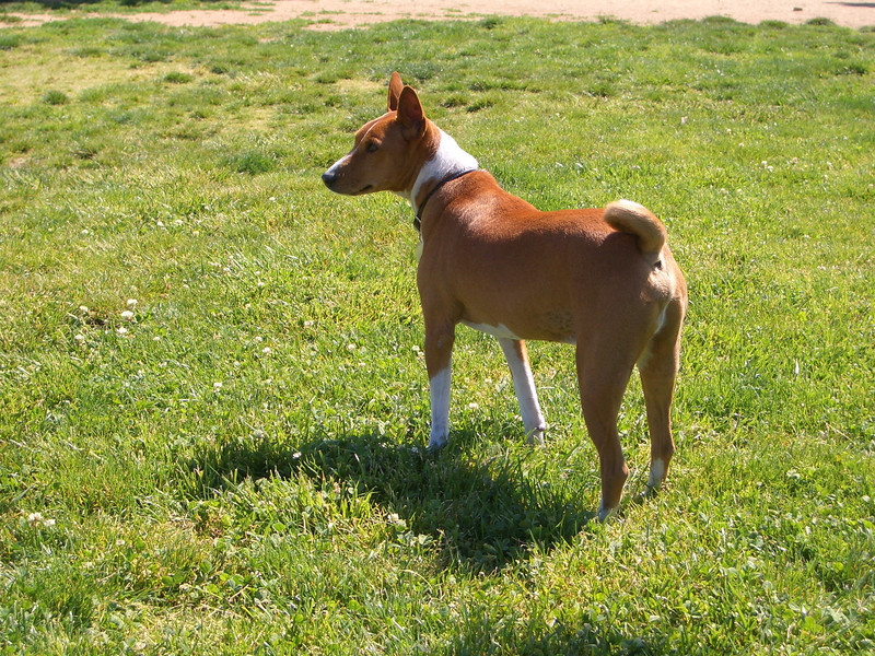"""It's like 'home on the range, where the deer' and the Basenji play."""