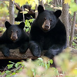 Wild Black Bear Sow and her cub.