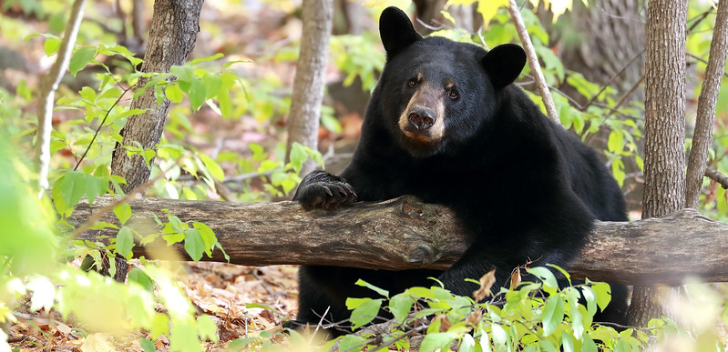 Black Bear Sow in Ontario, Canada.