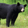 Wild Black Bear Sow in Ontario, Canada